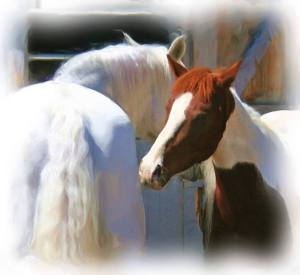 Both mares were at peace very quickly. Photo by Sheridan Studio.