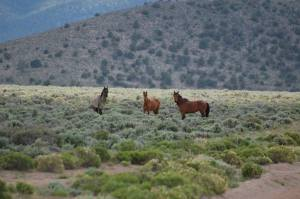 Wild Sulphur Mustangs of Sulphur HMA, UT. Photo by Matthew Pestour.